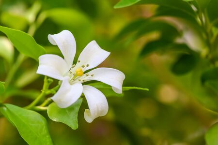jessamine: range Jessamine flowers (Satin-wood,Cosmetic Bark Tree)