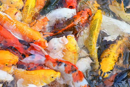 sanshoku: colorful koi carps surfaces in a feeding frenzy Stock Photo