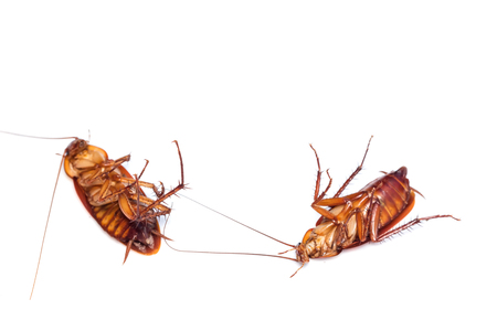 Dead cockroach turn face up on floor, isolate on white background. 版權商用圖片