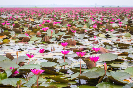flor: Lotus field Lake large in Udonthani of Thailand