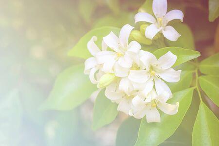 jessamine: range Jessamine flowers (Satin-wood,Cosmetic Bark Tree), fill color filter.