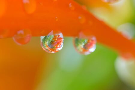 Close up drops on Orange trumpet, Flame flower, Fire-cracker Stock Photo