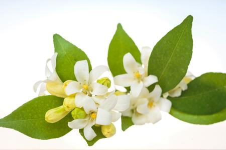range Jessamine flowers (Satin-wood,Cosmetic Bark Tree) on white background. Imagens - 78050508