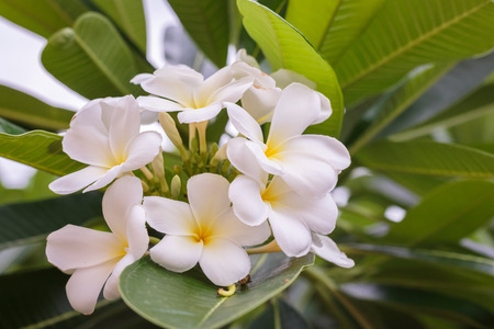 oahu: Plumeria blossom on the tree with bokeh light background.