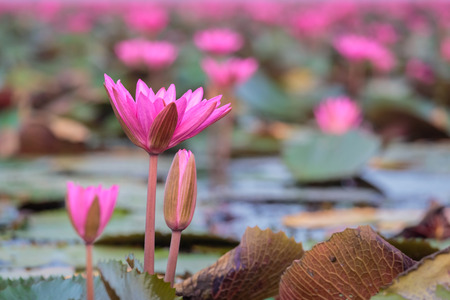 Close up pink lotus. The Lake of water lillies, Udonthani, Thailand