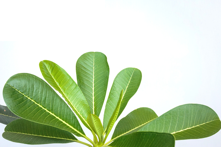Plumeria leaves isolate on white background.