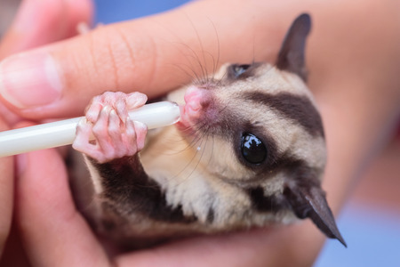 Sugar glider in girls hand.