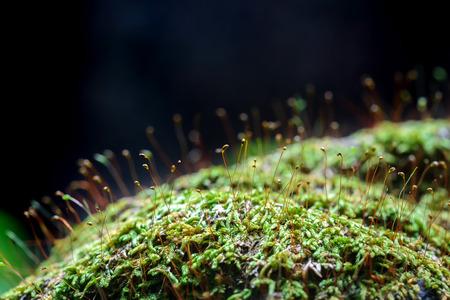 매크로 이끼 (Bryophyta) 스톡 콘텐츠