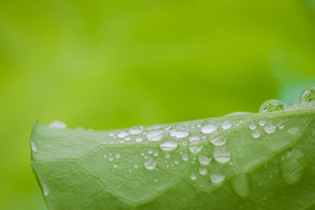Organic hydroponic vegetable with dew drop