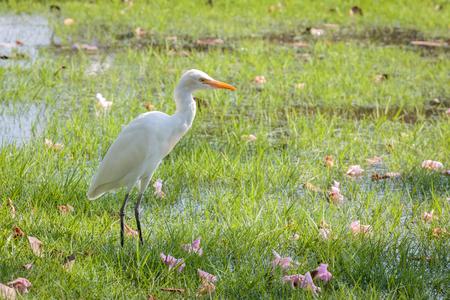 Egret on green grass at public park in Bangkok, Thailand.