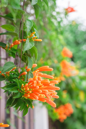 Close up Orange trumpet, Flame flower, Fire-cracker vine on the fence