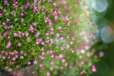 closeup view of gypsophila flowers