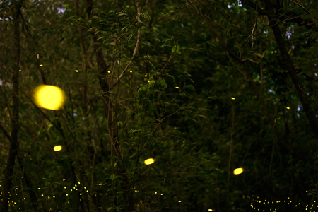firefly flying at the forest in Thailand Stock Photo