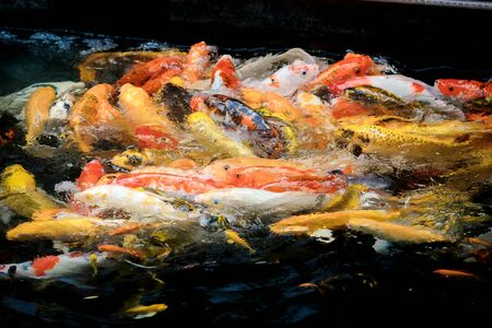 colorful koi carps surfaces in a feeding frenzy Reklamní fotografie