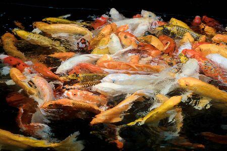 colorful koi carps surfaces in a feeding frenzy Stock Photo