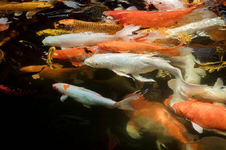 colorful koi carps surfaces in a feeding frenzy Banco de Imagens