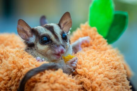 Sugar glider, Petaurus breviceps in cute action, soft focus