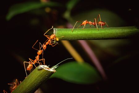 Ant bridge unity on tree branch Stock Photo