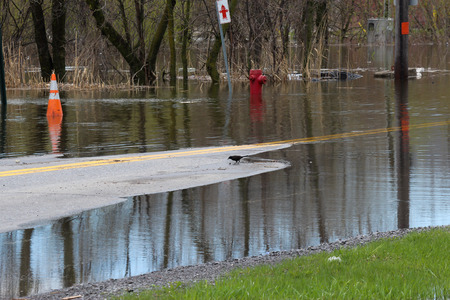 pooled: Blackbird in the middle of Chemin Oka, flooded on May 6th 2017 in St. Joseph du Lac, Quebec