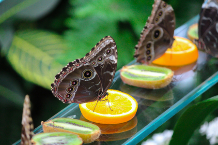 Blue Banded Morpho on oranges Stock Photo