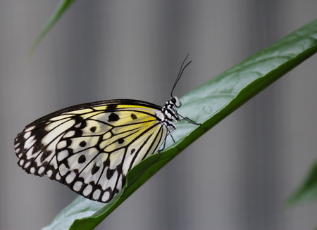 Rice paper butterfly on a leaf