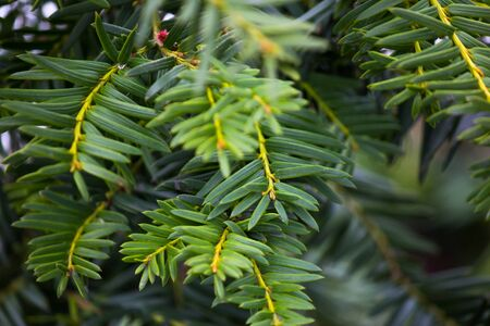 Close-up of pine tree leaves, perfect for background
