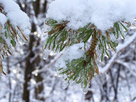 frozen lake: Pine tree branch with snow on it