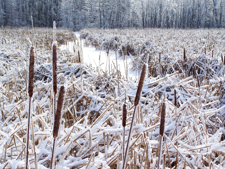 Bullrush or Corndog in winter, with snow near a little river