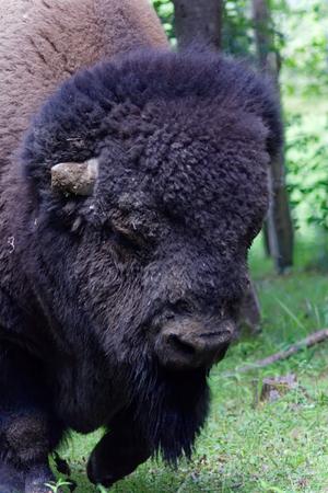 Close up of the American Buffalo. Stock Photo