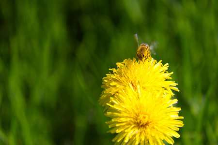 Bee on a dandelion full of nectar-Stock Photos