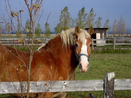 Butterscotch gekleurd paard