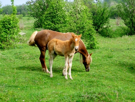 Butterscotch foal stands in a paddock with its mother. foal stands in a paddock Reklamní fotografie