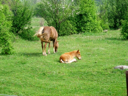 Colt laying in grass and Mare standing