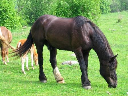 Dark brown horse grazing in the field Reklamní fotografie