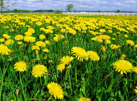 Stock Photo - Dandelion field flower flowers