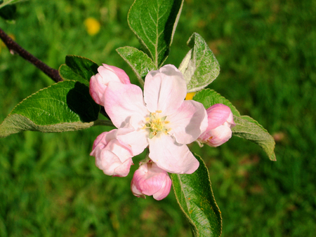 Single pink apple tree flower in bloom-stock photos