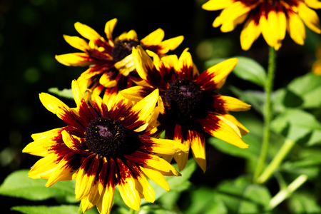 Echinacea with yellow petals and red center