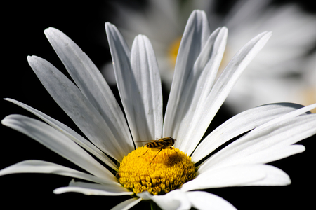 White Daisy with a little bee on the yellow bud