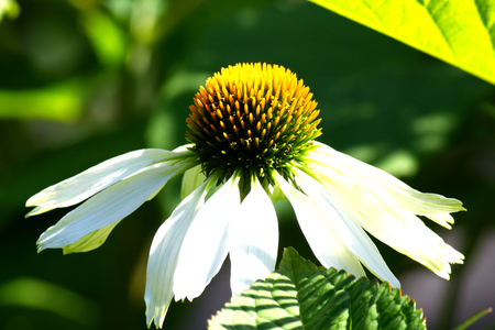 White echinacea flower also called cone flower stock photo stock photo white echinacea flower also called cone flower mightylinksfo