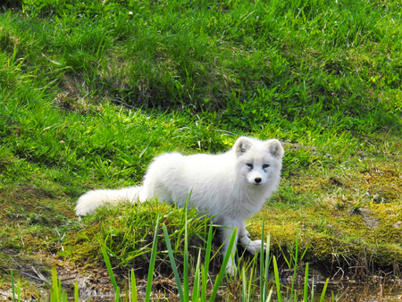White arctic fox contrasting with green grass in the country Standard-Bild