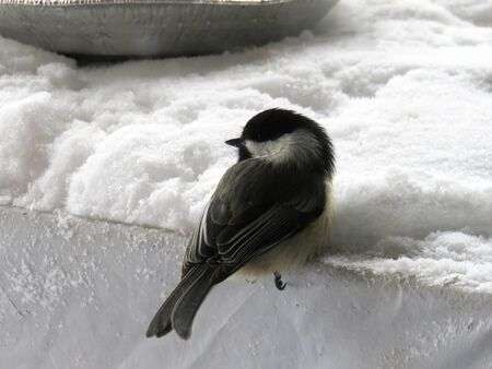 close-up of a great tit parus major in the snow