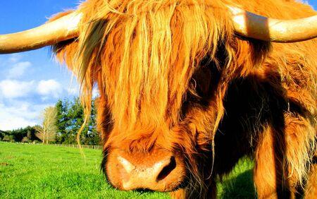 cow Stock Photo - 450429