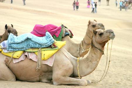mumtaz: Camels