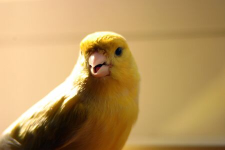 Close-up on a yellow canary