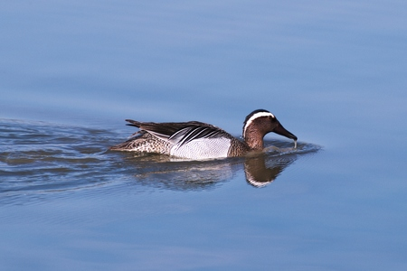 dabbling: Garganey dabbling duck (Garganey) swimming in the wetlands of the Cona Island Natural Reserve (Friuli, Italy)