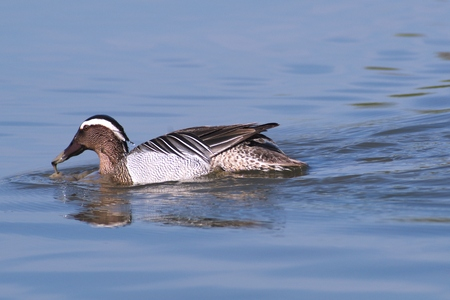 dabbling: Garganey Garganey dabbling duck swimming in the wetlands of the Cona Island Natural Reserve Friuli Italy Stock Photo