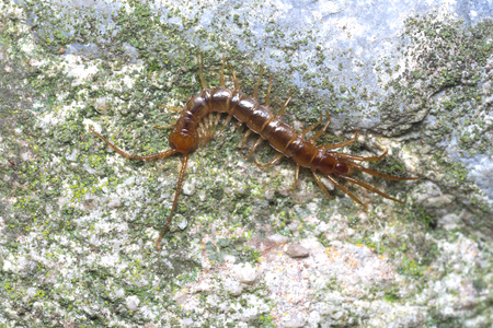 segmented bodies: Brown or stone centipede Lithobius forficatus hunting in a garden by night