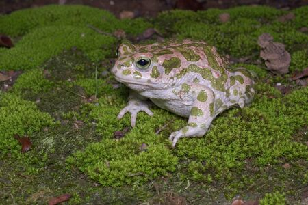 bufo toad: Egyptian or European green toad European Green Toad or Bufo viridis Stock Photo