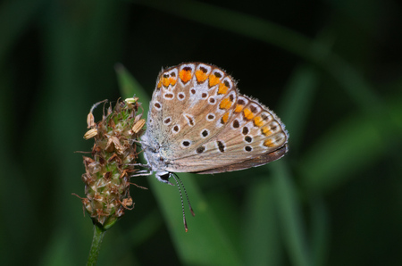 polyommatus icarus: Common blue Polyommatus icarus butterfly resting on a flower Stock Photo