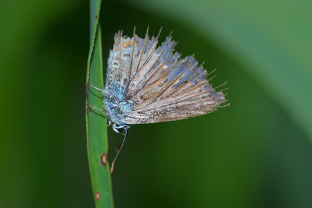 icarus: Very old common blue butterfly Polyommatus icarus with damaged wings resting on a leaf of grass